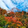 Picture shows a view looking up at a tree with red and yellow fall leaves. Blue sky with some whi...