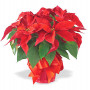Pointsettias and other festive decorations adorn Agnes Flanagan Chapel for the 40th annual Holida...