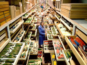 Birds collections from the Department of Vertebrate Zoology are displayed at the Smithsonian Inst...